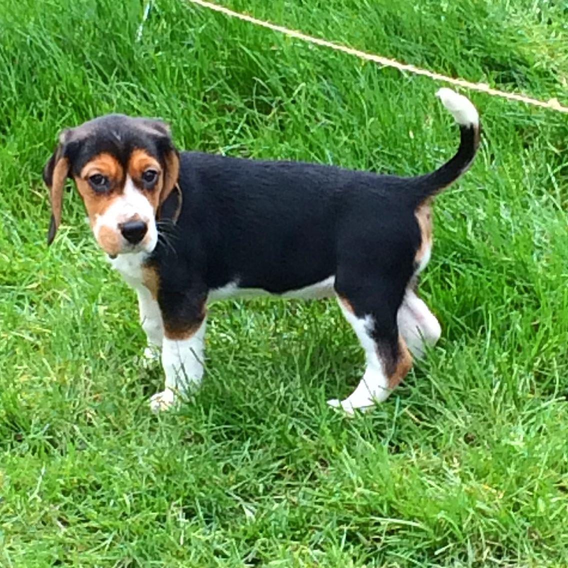 10 weeks old beagle puppy Pika