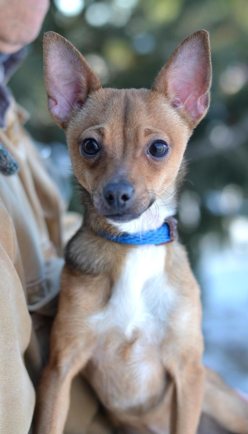 Yogi Is An Adoptable Chihuahua Mix At The Sangamon County Animal