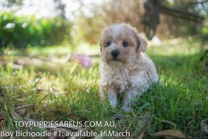 Puppies For Sale at Toy Puppies Are Us New South Wales