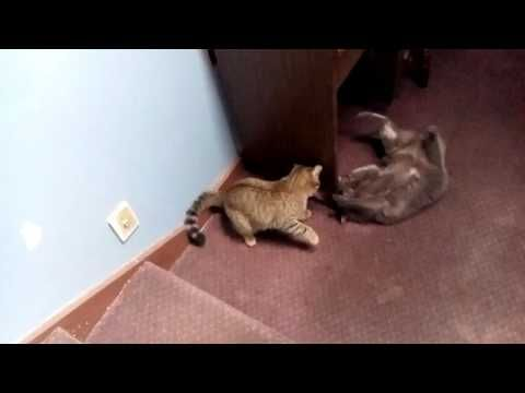 Russian cat fight