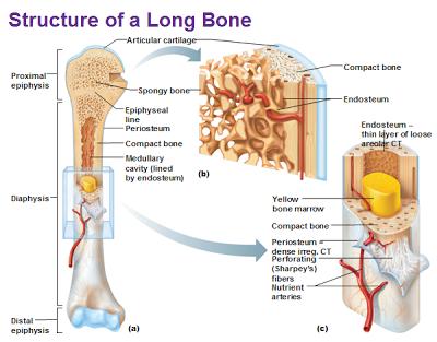 Human&Animal  Anatomy and Physiology Diagrams: Bone Marrow Anatomy