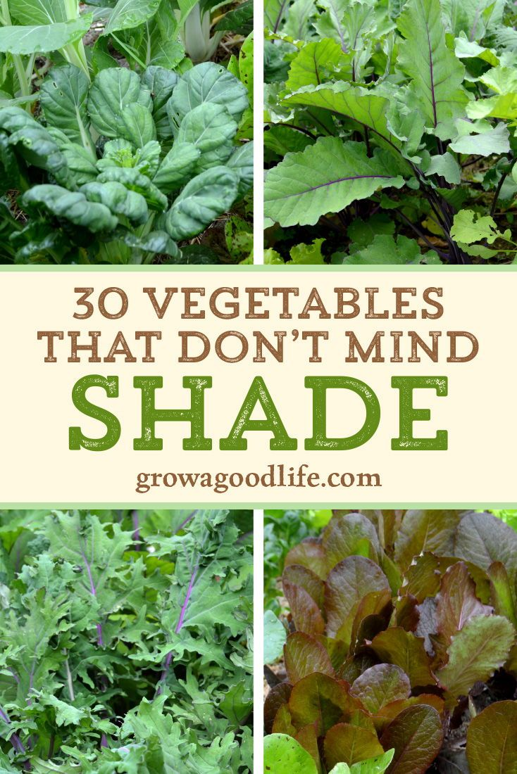 30+ Vegetables That Grow in Shade is part of Vegetable garden planner, Veg garden, Garden veggies, Vegetable garden, Garden planner, Food garden - Shady areas do present a challenge to growing a vegetable garden  Don't let it stop you from growing food  Here are over 30 vegetables that you can grow in partially shady areas