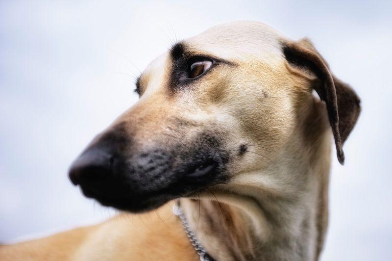 Sloughi Windhunde Windhund Hunde