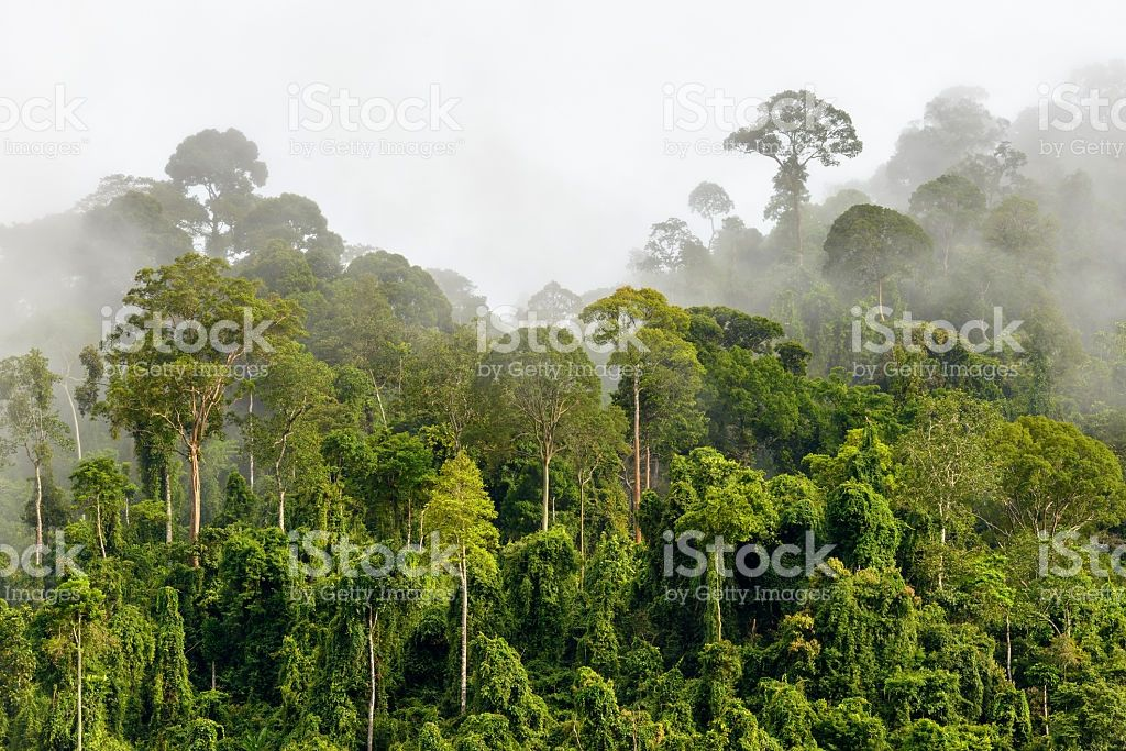 Treetops of Dense Tropical Rainforest With Morning Fog