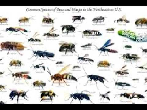 Honey Bees Versus Wasps Vs Hornet Or Velvet Ant And Yellow Jacket Youtube Types Of Bees Different Types Of Bees Types Of Honey Bees