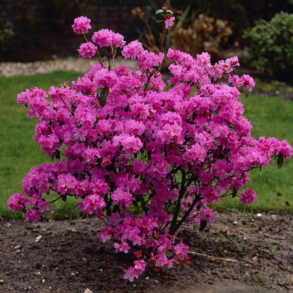 Rhododendron praecox evergreen shrubs season of for Outside plants and shrubs