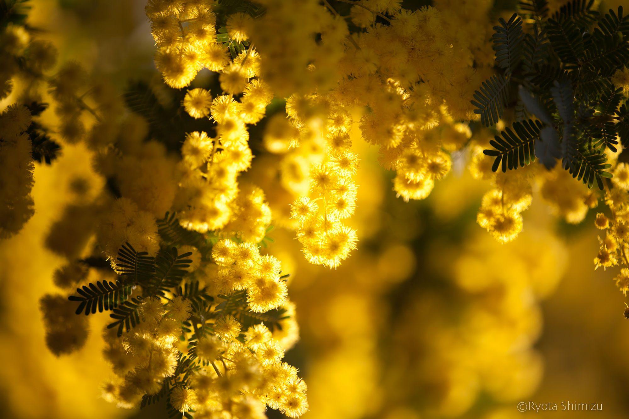 mimosa by Ryota Shimizu on 500px