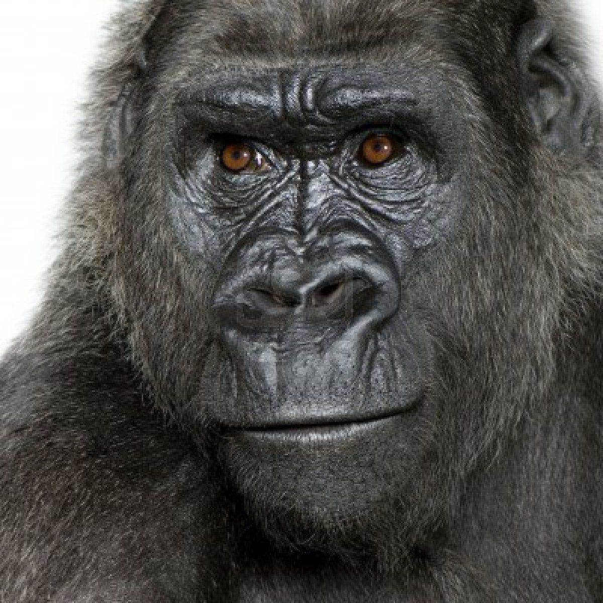 Pin op Gorilla