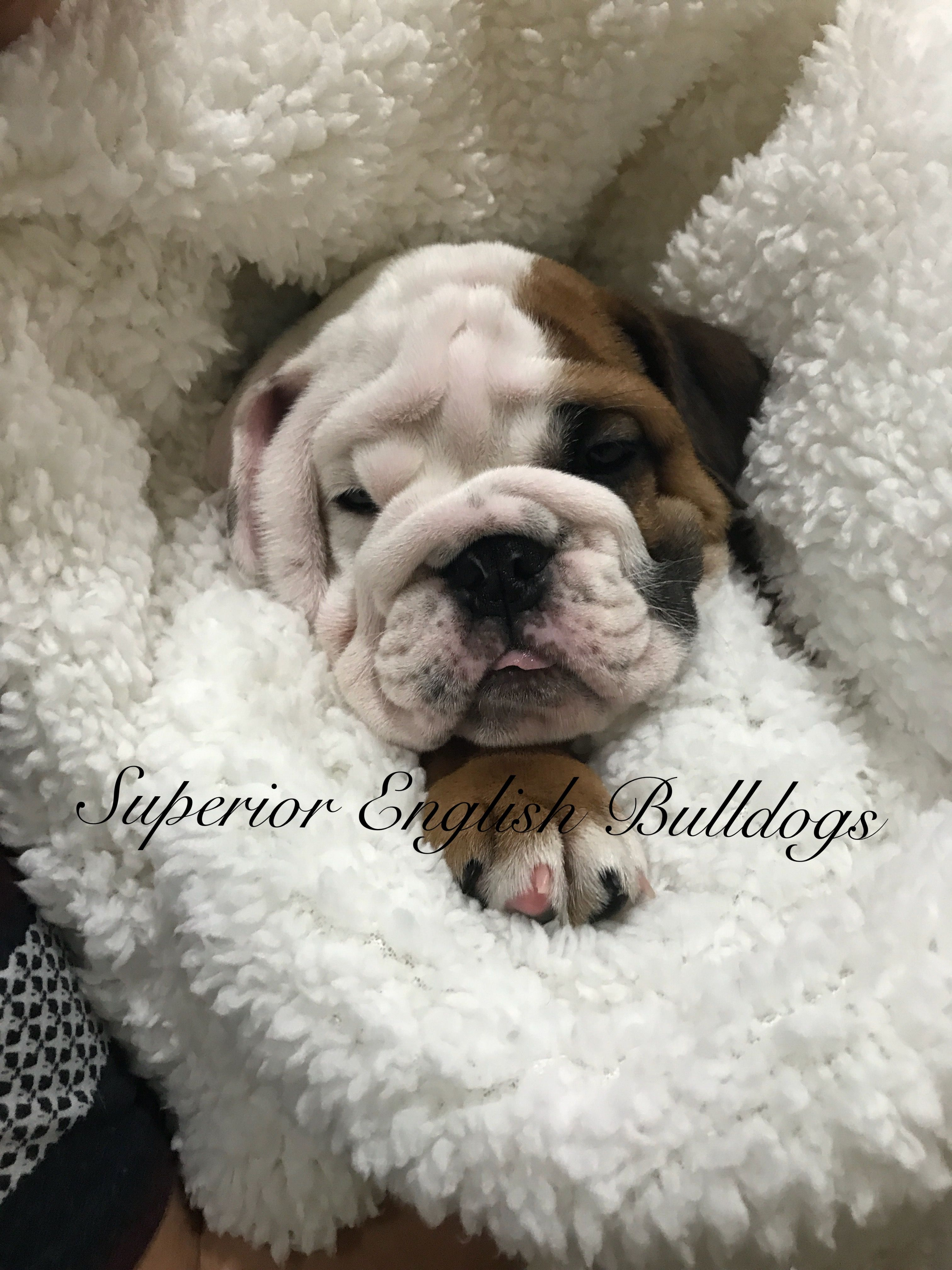 Pin By Superior English Bulldogs On English Bulldogs English