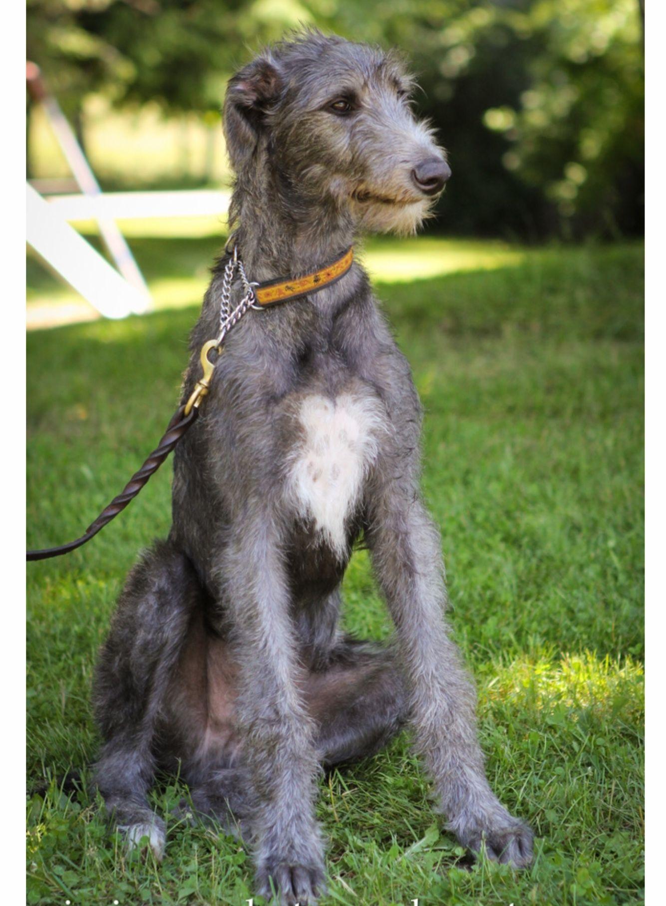Cute Scottish Deerhound Puppy Deerhound Scottish Deerhound Beautiful Dogs