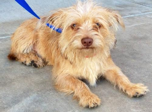 Scruffy is an adoptable Wirehaired Terrier, Yorkshire
