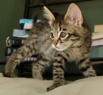 Savanna Cat Savannah Kitten Kittens Savanna Cat