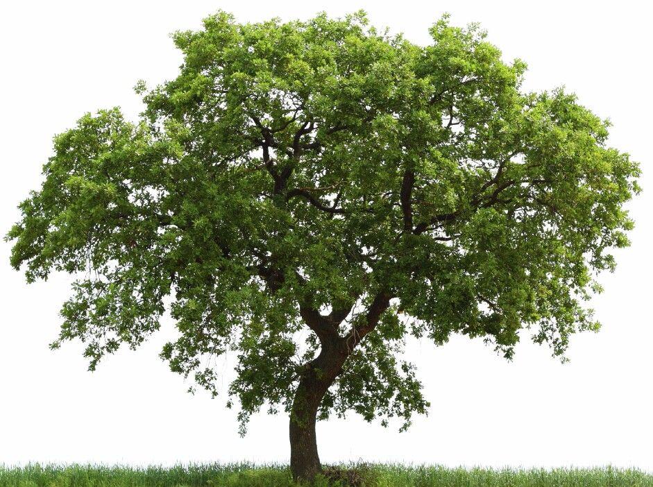 Oak Tree Arboles Png Arbol Frondoso Arboles Y Arbustos