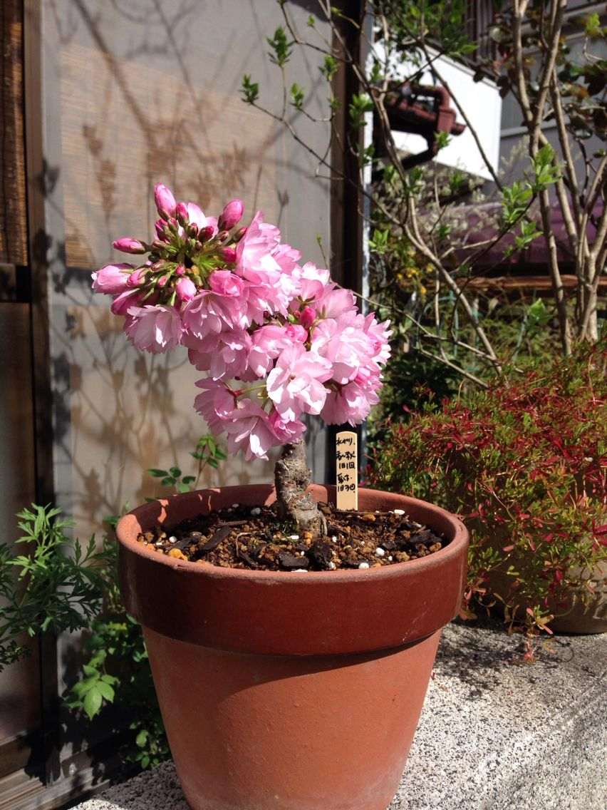 Little Cherry Blossom Tree But It S So Beautiful Cherry Blossom Tree Little Garden Blossom Trees