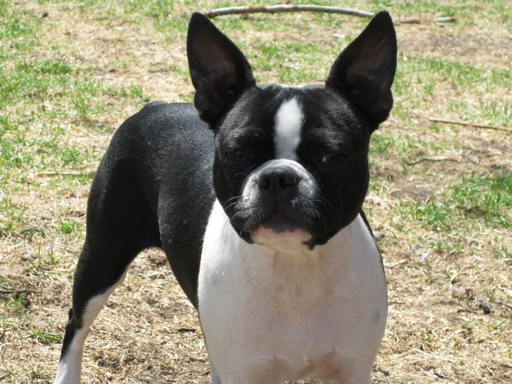 Boston Terrier Potty Trained Enough