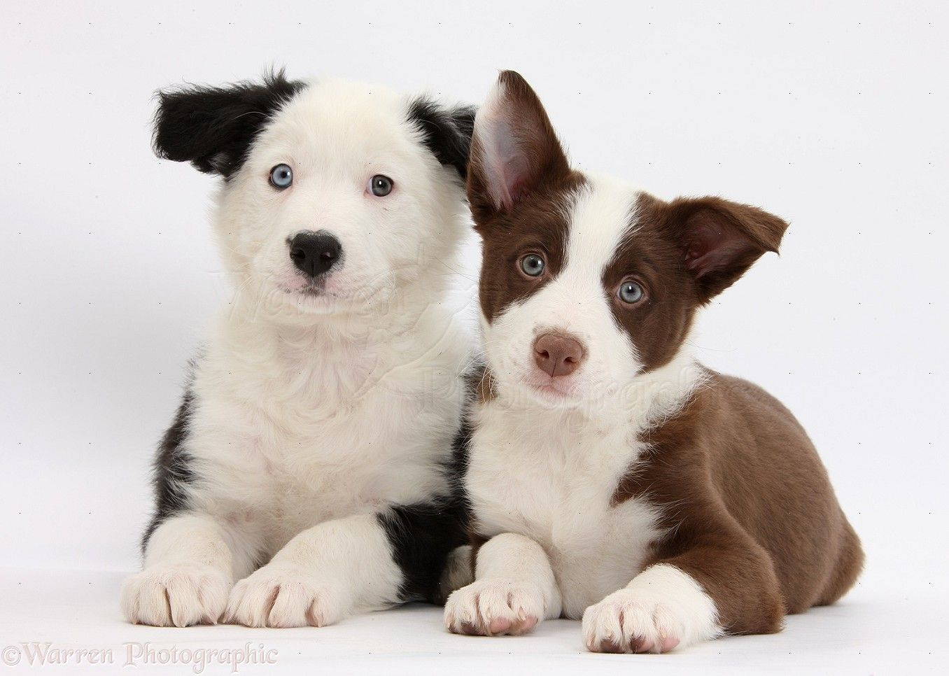 Droll Adorable Siberian Husky Puppies In 2020 Husky Puppy Dog