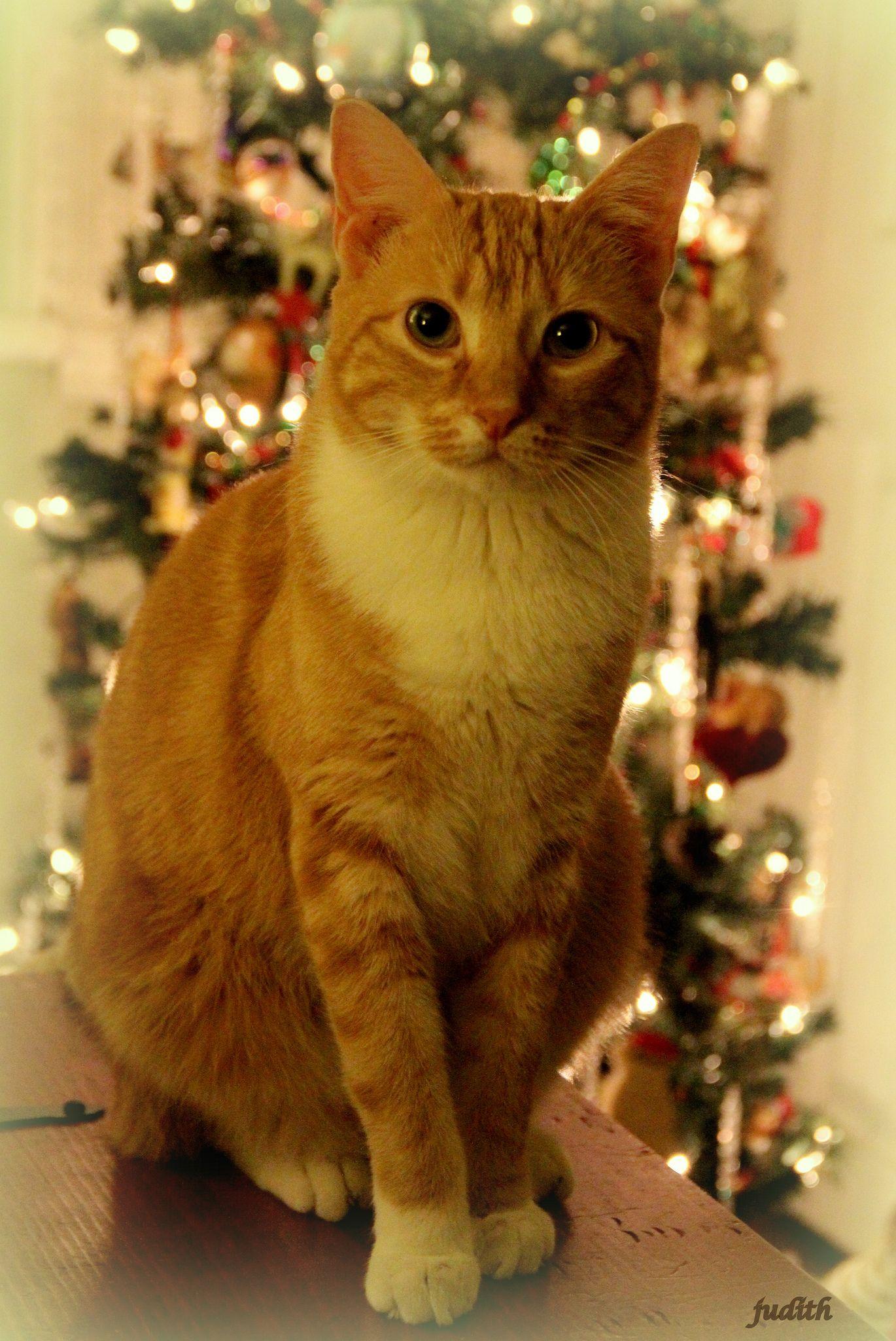 """I've been VERY nice... Christmas cats, Orange cats"