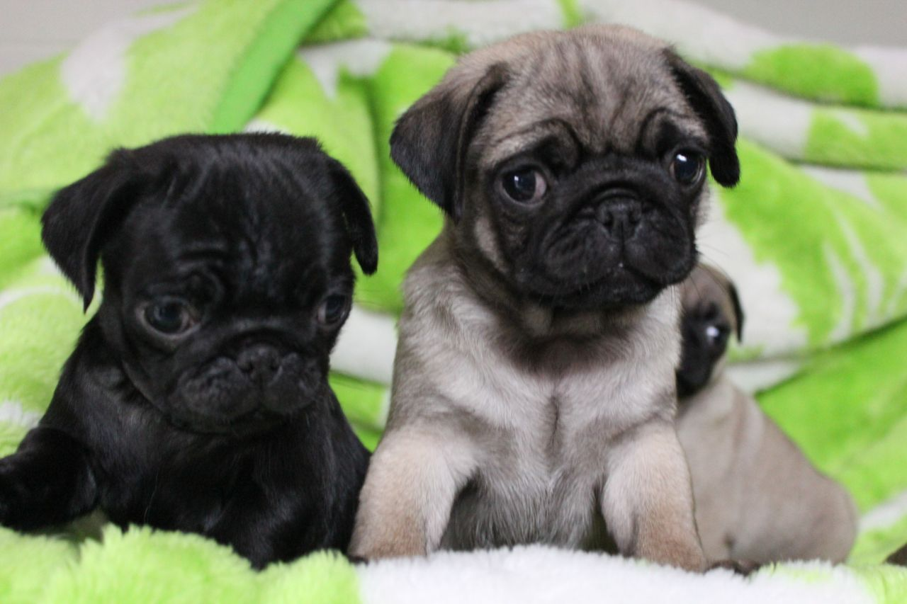 Pug Wallpaper Screensaver Background Cute Pug Puppies Cute