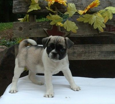 Litter Of 7 Jug Puppies For Sale In Stevens Pa Adn 35021 On