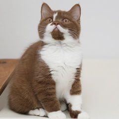 We Proudly Present Bkh Katzen Tiere Und Haustiere Britisch
