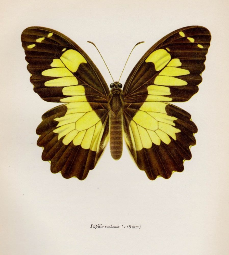 Vintage BUTTERFLY Print Insect Print Gallery Wall Art Papilio ...