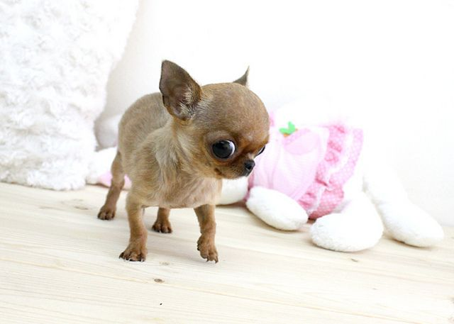Coco Micro Teacup Chihuahua Boutique Teacup Puppies Teacup