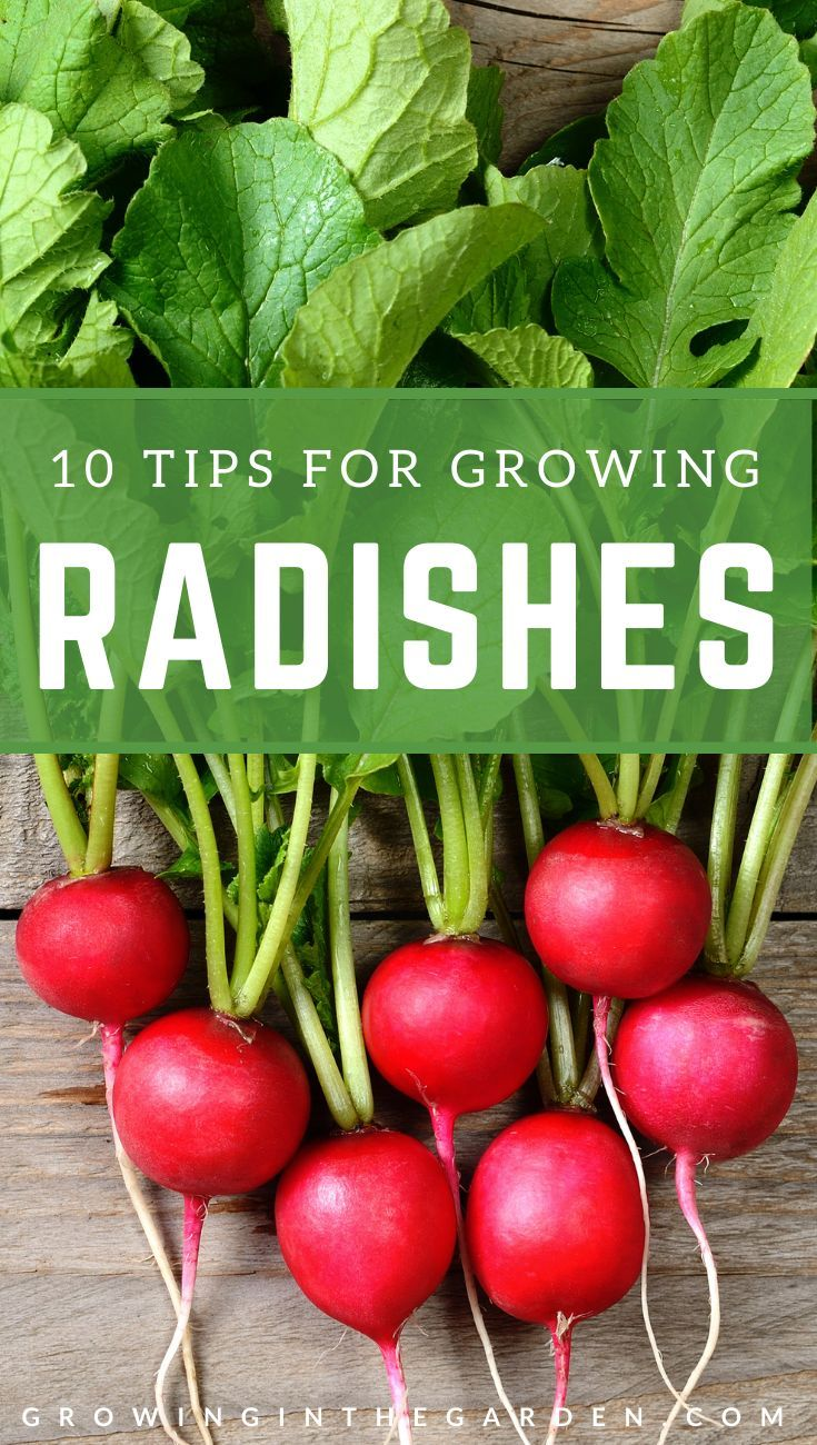 how to store radishes for winter