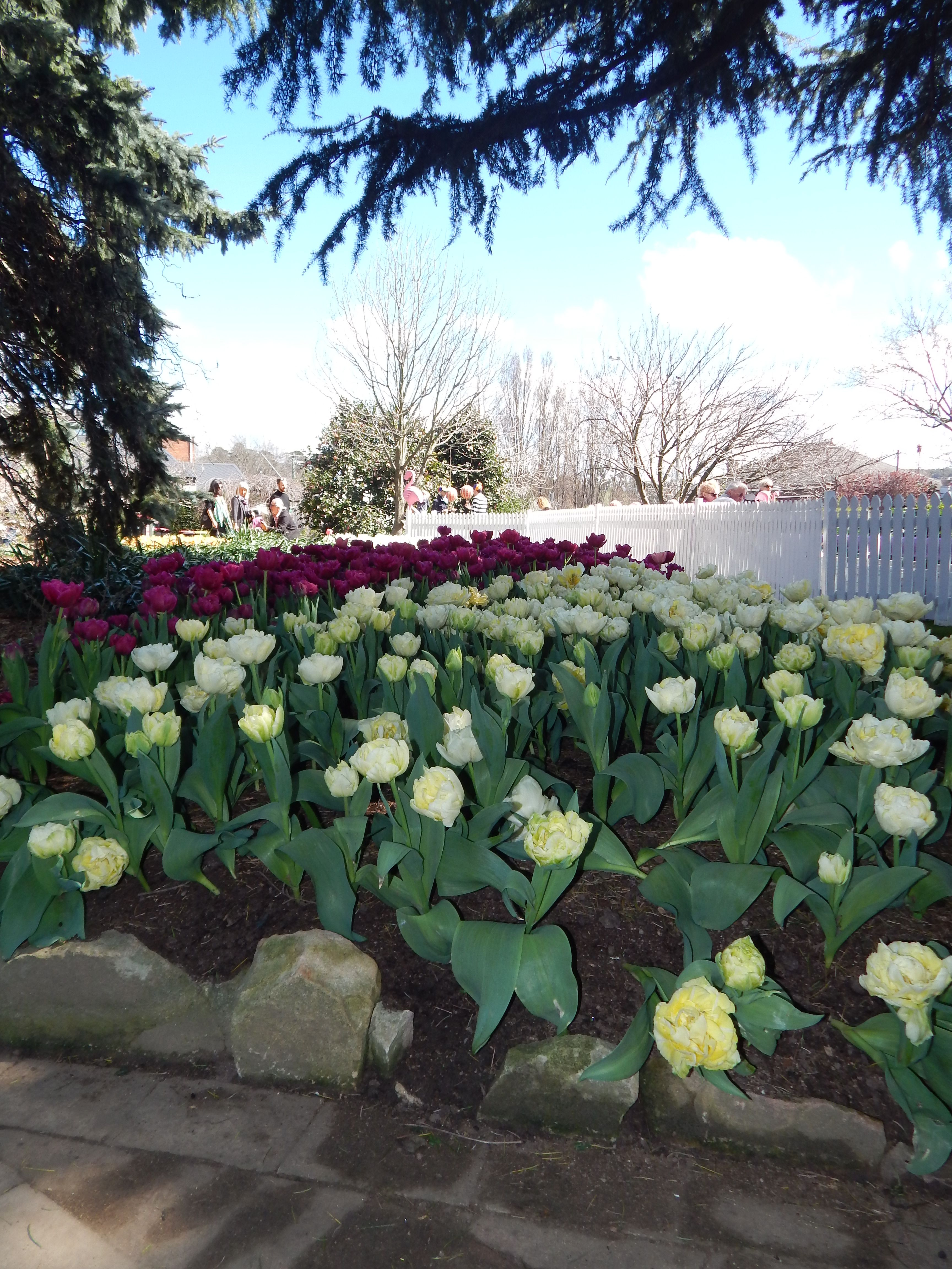 Spring Flowers At The Bowral Tulip Festival Australia Are