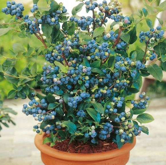 8 Best Berries To Grow In Containers For Incredible Flavor In 2020 Blueberry Plant Blueberry Bushes Blueberry Tree