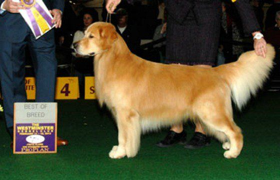 Westminster Kennel Club Dog Show Banana Joe Our Personal