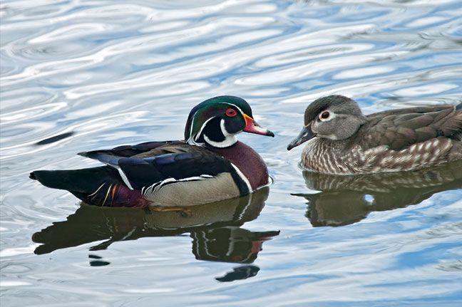 Adornado en plumaje nupcial de iridiscente azul, verde y marrón de la castaña, un pato macho paletas de madera a través de una charca estancada para saludar a su amigo.