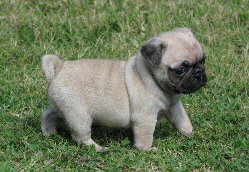Pug Puppies Rescue Pictures Information Temperament