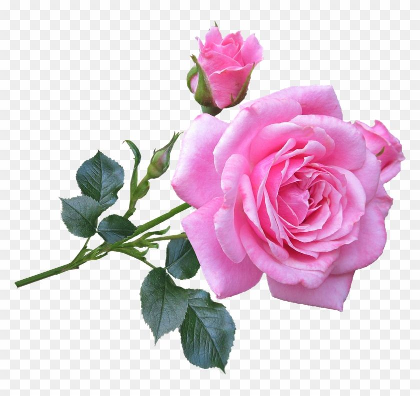 Picture Of A Pink Rose Good Morning Gif New Rose 406630 Good Morning Roses Good Morning Rose Images Morning Rose