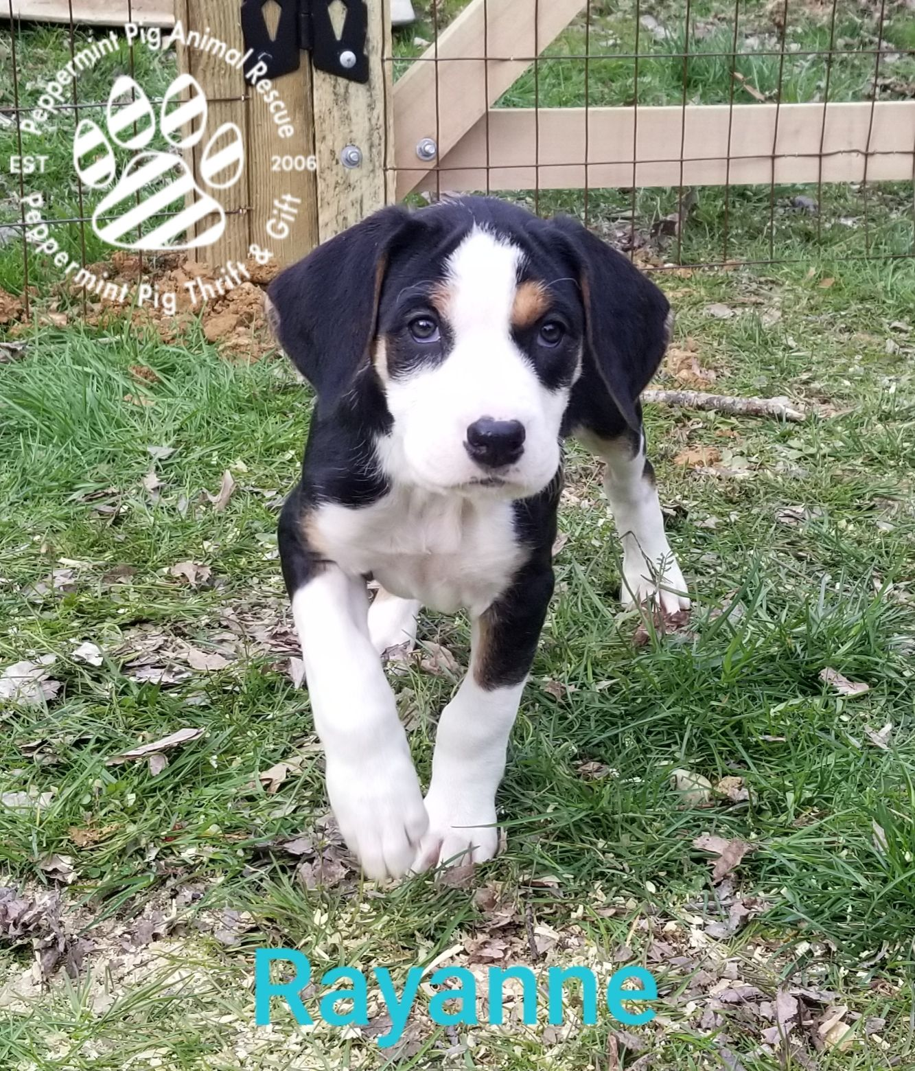 Adopt Rayanne on | Doggos | Dogs golden retriever, Dogs, Swiss