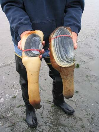 Geoduck Panopea Generosa This Species Of Very Large Edible
