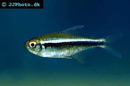 Black Neon Tetra Hyphessobrycon Herbertaxelrodi Neon Tetra Tetra Fish Aquarium Fish