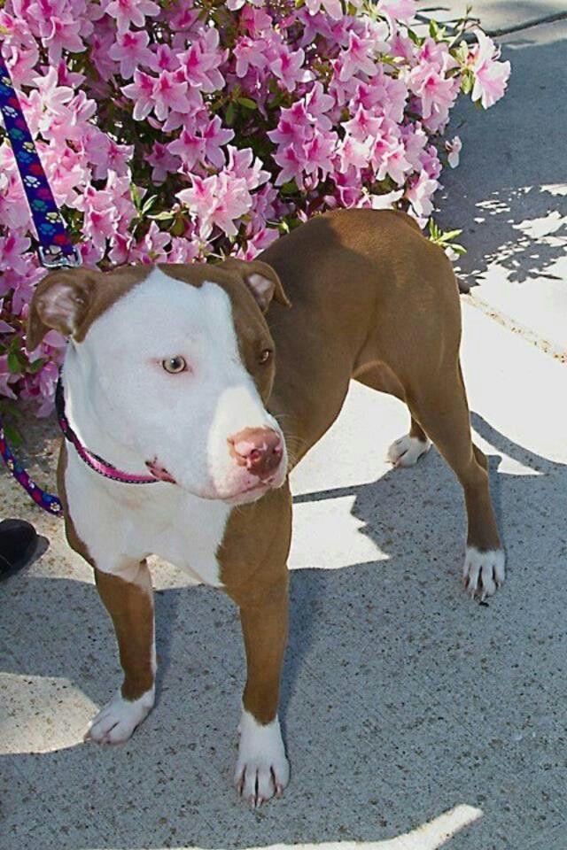 White Face Pitbull Terrier Pitbulls American Pitbull Terrier