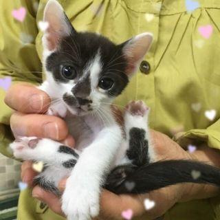 1 5ヶ月よちよち白黒 東京都 猫の里親募集情報 108980 猫 里親 白黒