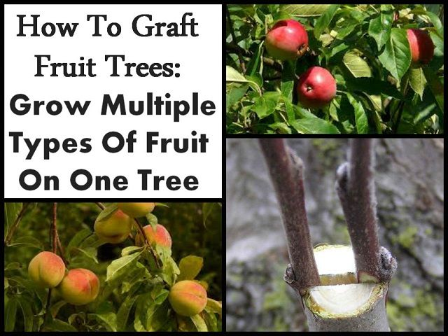 Multiple Grafted Fruit Trees Part - 16: How To Graft Fruit Trees Grow Multiple Types Of Fruit On One Tree