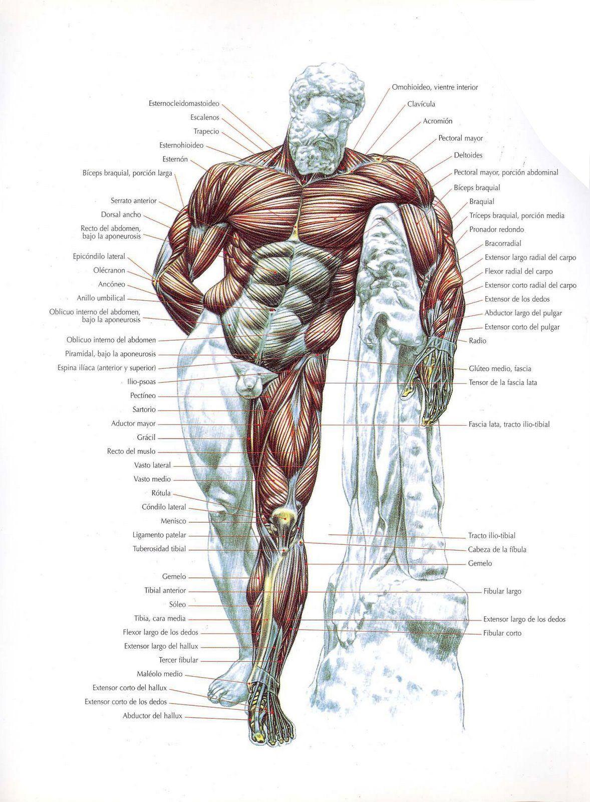 musculos-frontales.jpg (1178×1600) | musculos | Pinterest | Musculos ...