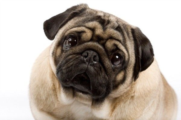 Chinese Pug Breed Information And Photos Pug Breed Chinese Pug