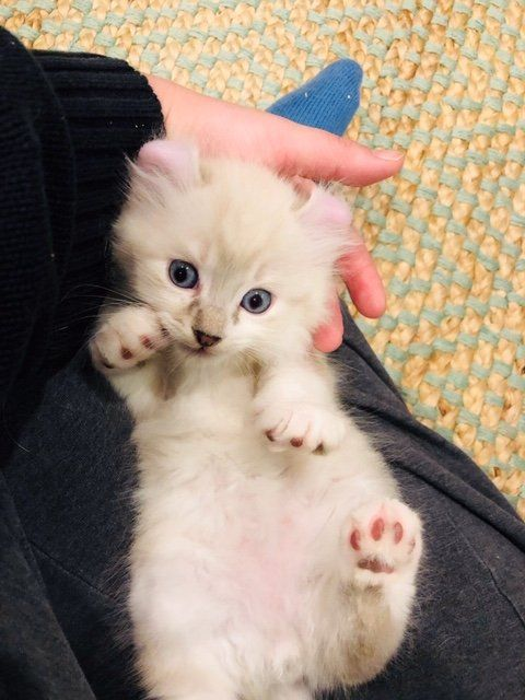 American Curl Kittens for Sale! Procurl Harem Kitten Sale