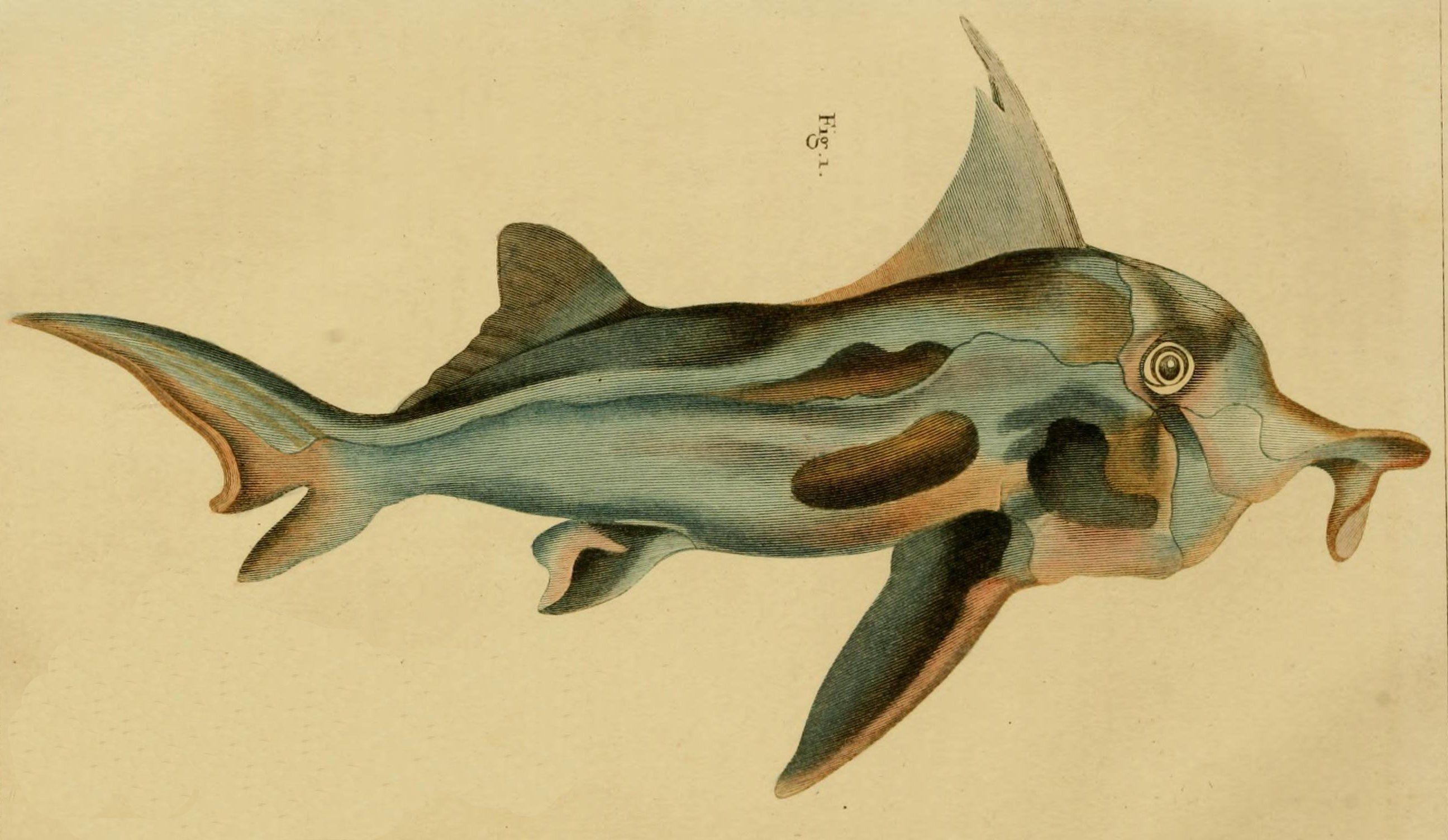 Callorhinchus milii Australian Ghost Shark Natural