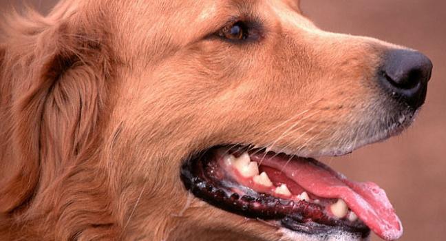 Dentadura en el perro