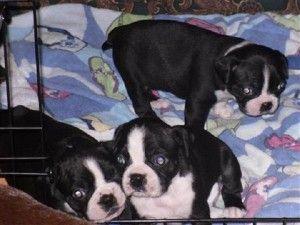 Rat Terrier Puppies Lexington Tx Cute Baby Animals Boston