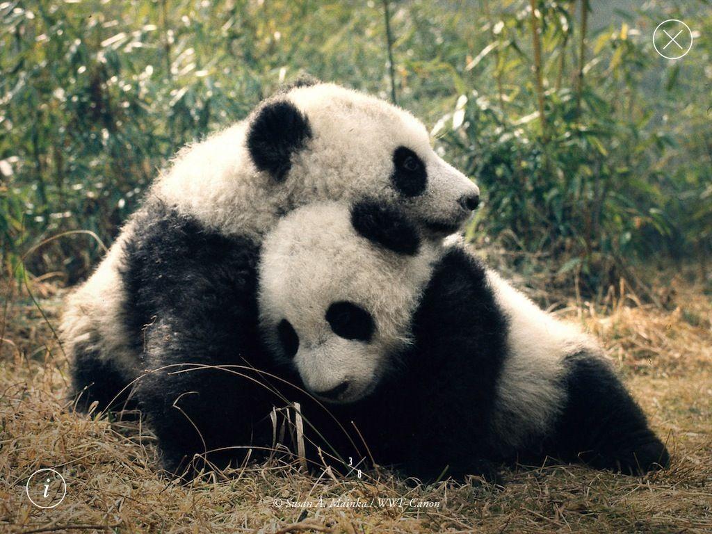 Cute baby pandas cuddling | Panda Bears | Pinterest ...