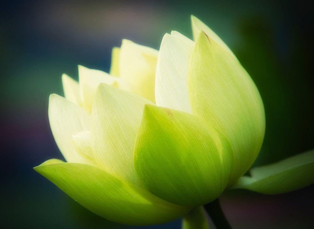 Bộ sưu tập hình ảnh hoa sen xanh đẹp nhất trong 2021 | Hình ảnh, Sen, Hoa  sen