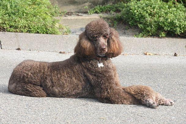 Pin By Megan Carney On Animals 3 Poodle Rescue Poodle Mix Poodle