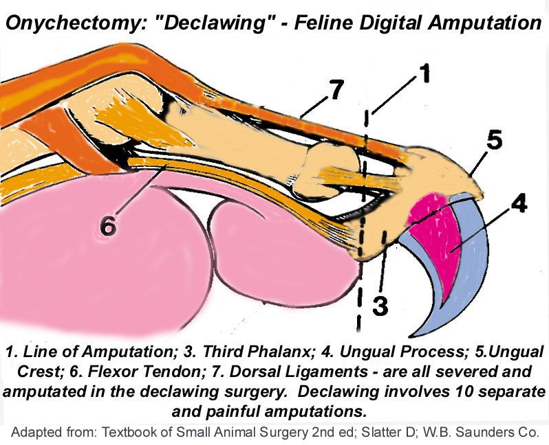Did you know that declawing your cat is just like having each of your fingers amputated at the first joint? This is a VERY painful surgery and if you INSIST on having it done-PLEASE, do it at around 3 months of age...the younger the cat, the quicker the heal time and also their light weight helps lessen the pain. At our clinic, we would inject Buprinex into each joint upon amputation to help temporarily numb the area. NEVER give your cat Tylenol, aspirin, etc