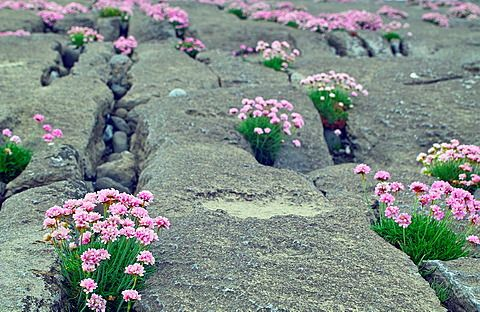Thrift growing among the rocks on Inis Oirr, Arran Islands, County Galway, Ireland.